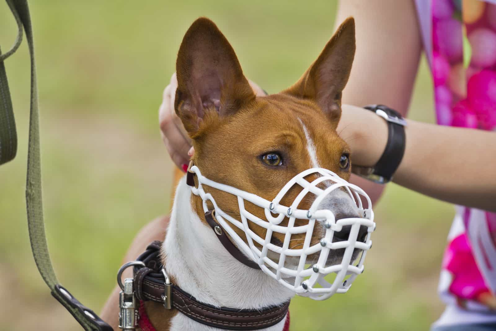 Basenji-Hund in einer Schnauze zum Coursing