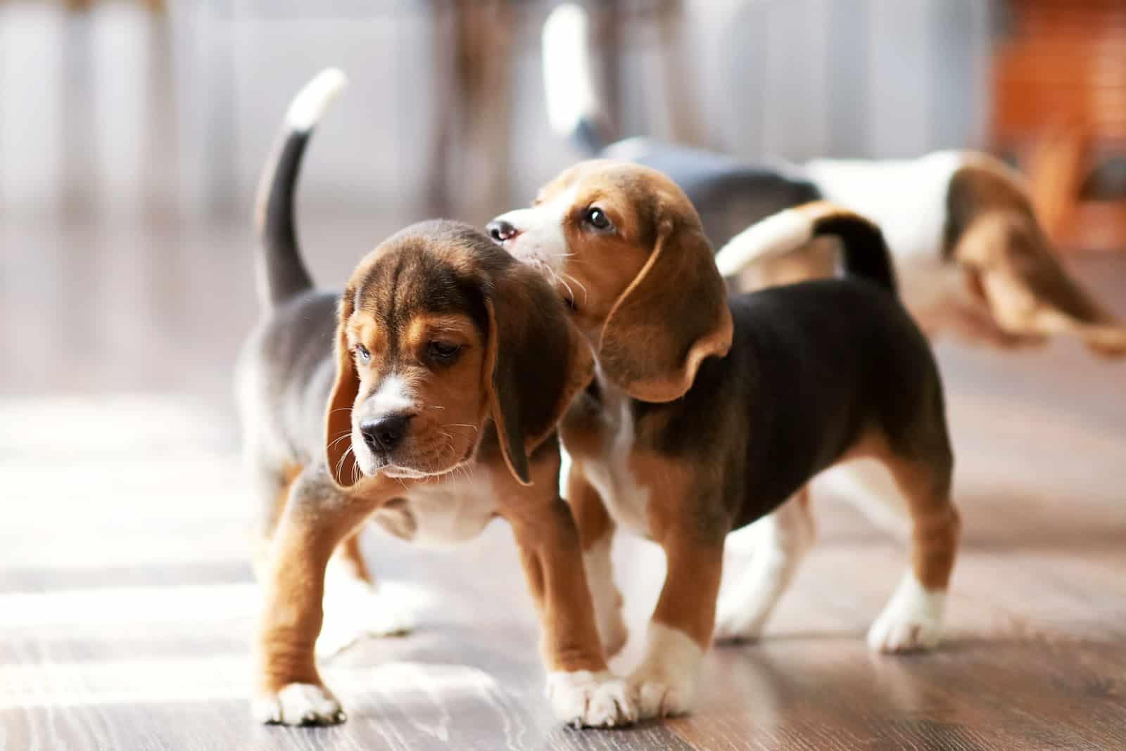 Beagle-Welpe, der zu Hause auf einem Hartholzboden spielt