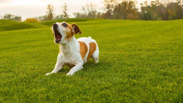 Dein Hund Bellt, Wenn Er Alleine Ist – Was Nun?