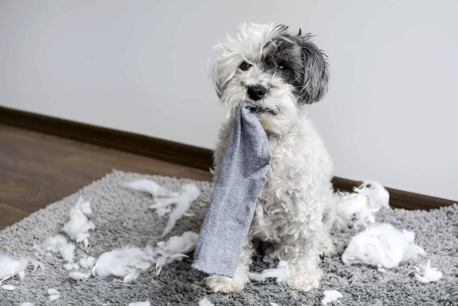 Frecher Pudelhund mit Socke im Mund machte zu Hause ein Chaos