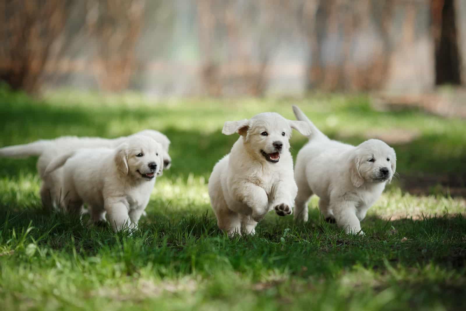 Kleine Welpen Golden Retriever, herumlaufen