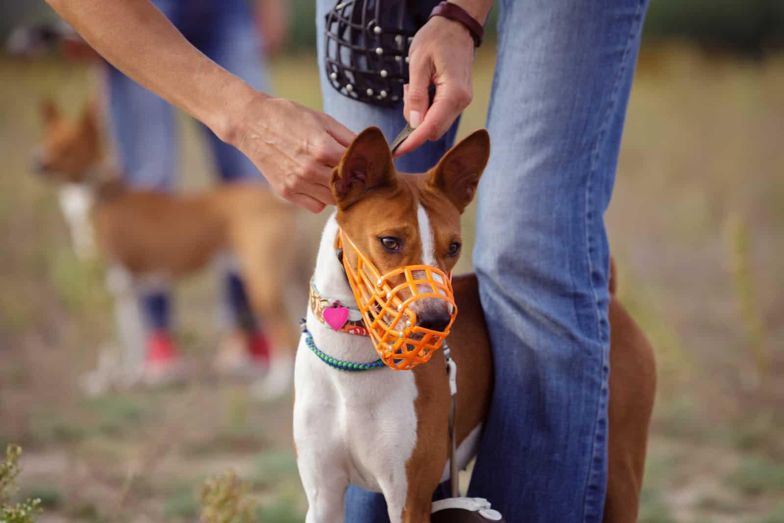Porträt von Basenji-Hunden, die für einen Lauf mundtot gemacht wurden