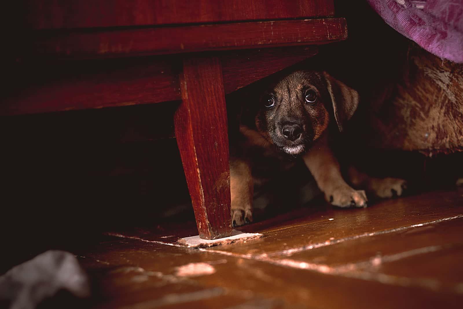 kleiner Welpe, der sich unter der Garderobe versteckt