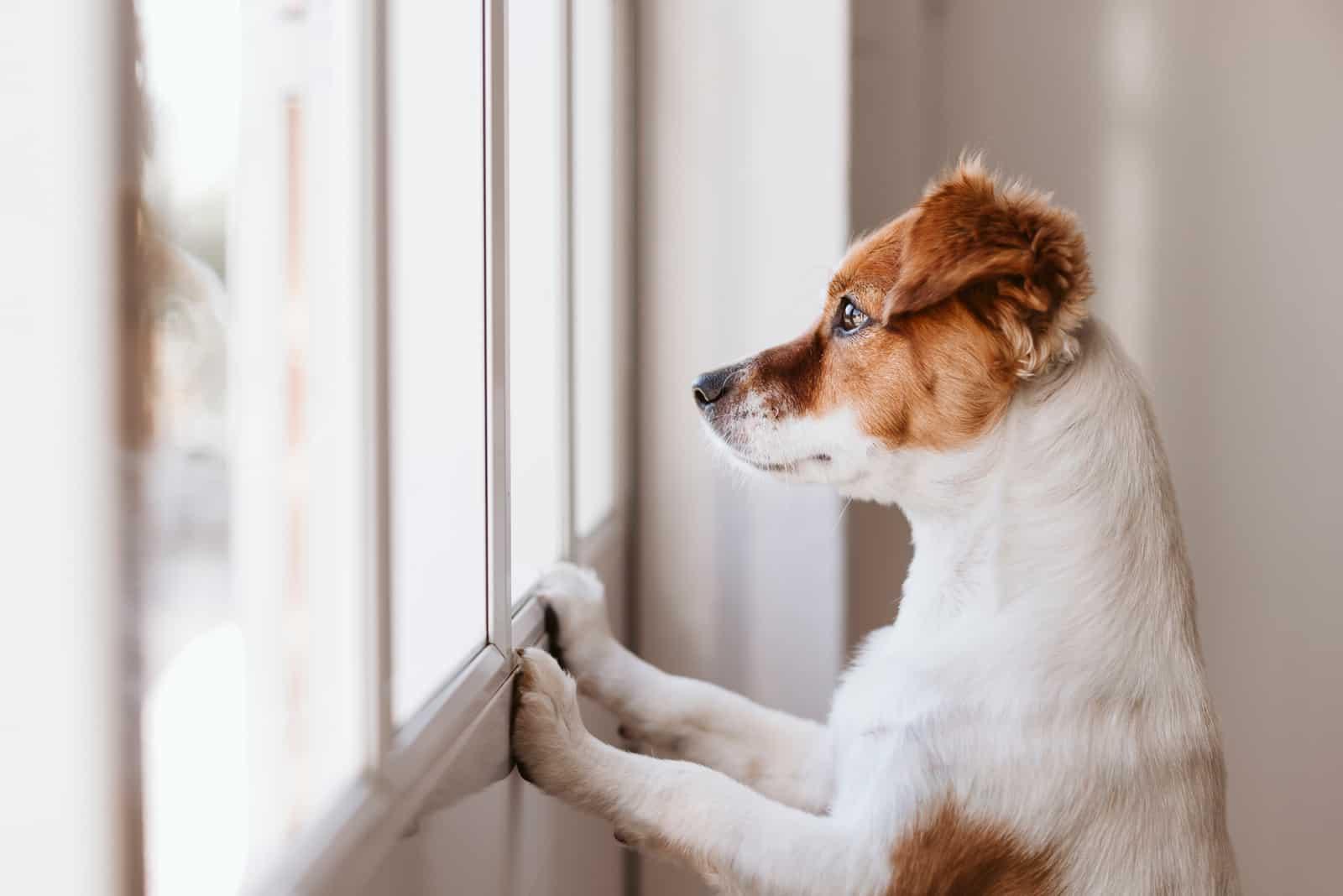 süßer kleiner Hund, der auf zwei Beinen steht und durch das Fenster wegschaut