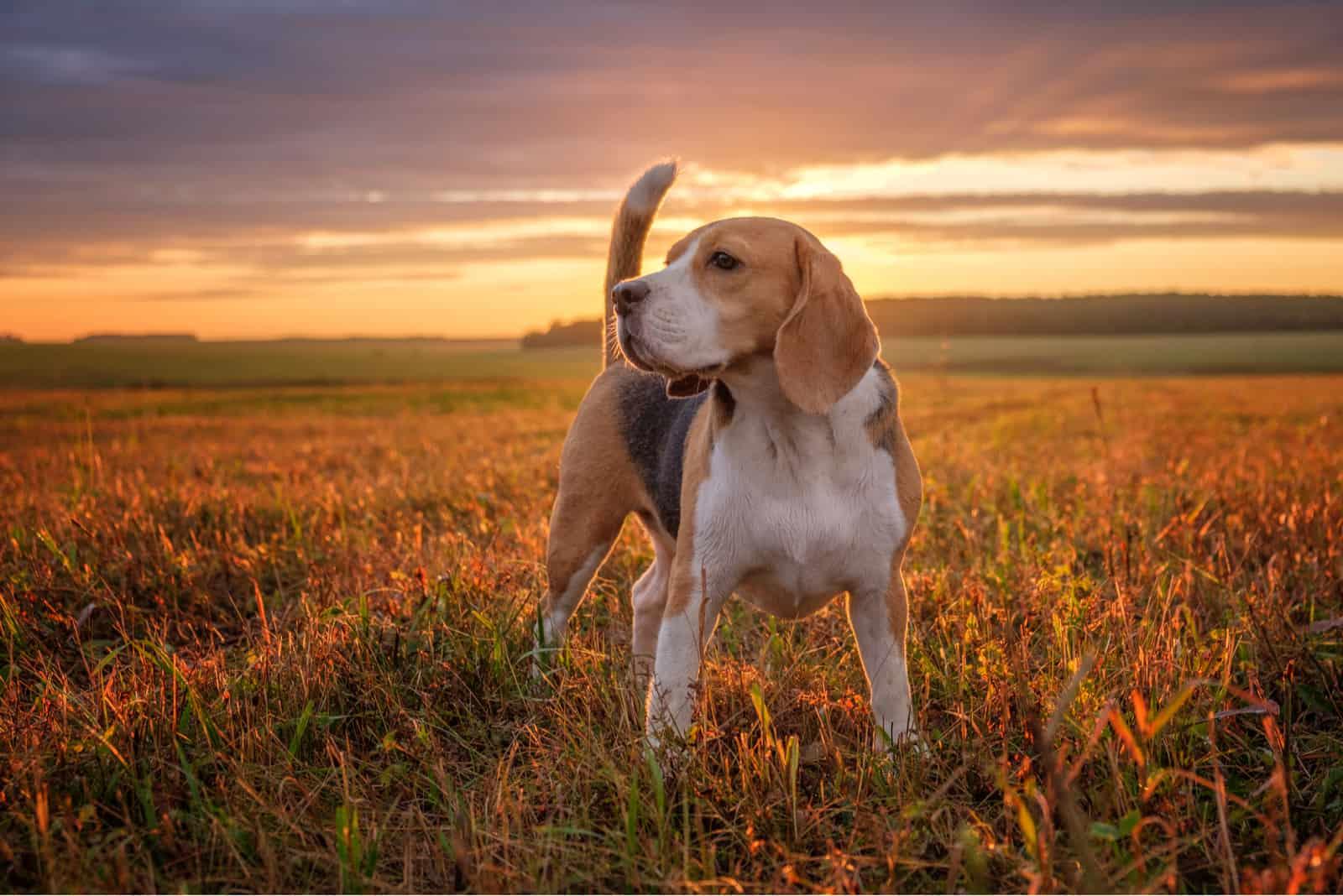 Beagle-Hund in der Natur