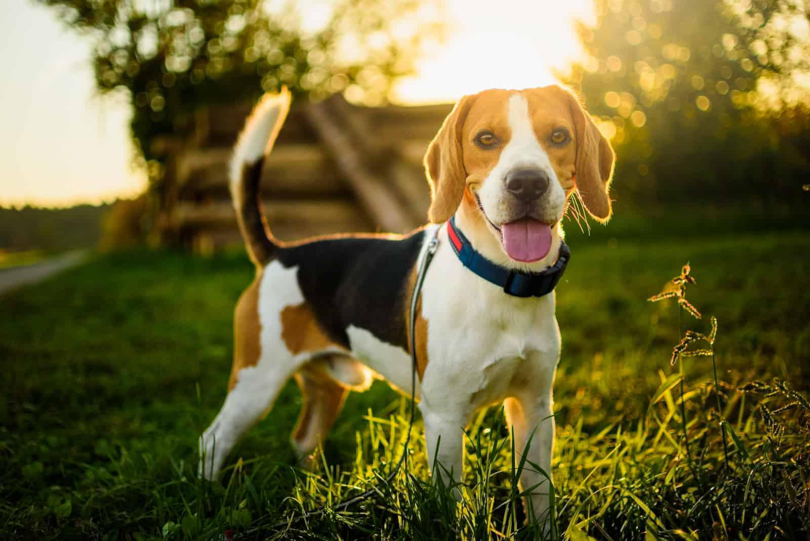 Beagle-Hund mit ausgestreckter Zunge