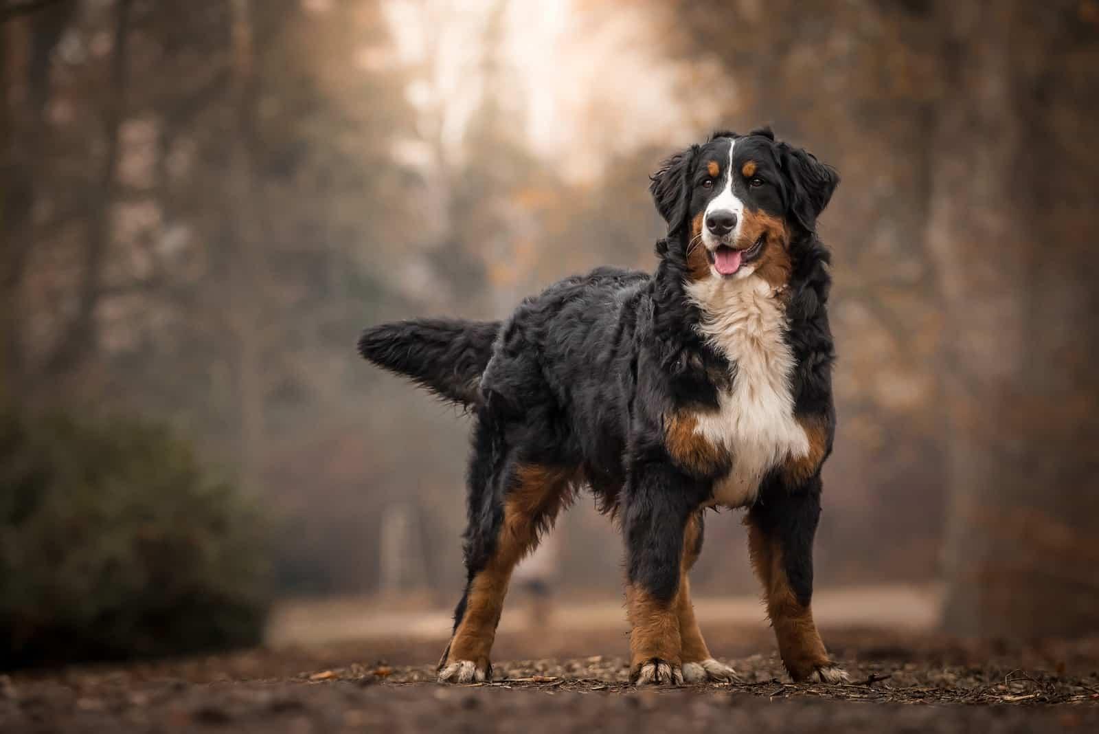 Berner Sennenhund, der im Park steht