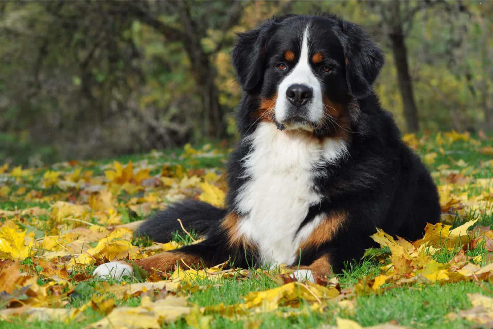 Berner Sennenhund im Herbst