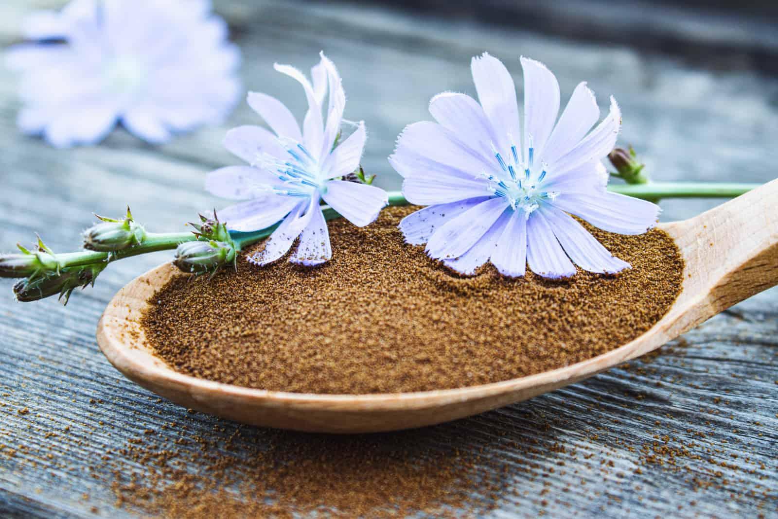 Blaue Zichorienblume und ein Holzlöffel Zichorienpulver auf einem alten Holztisch