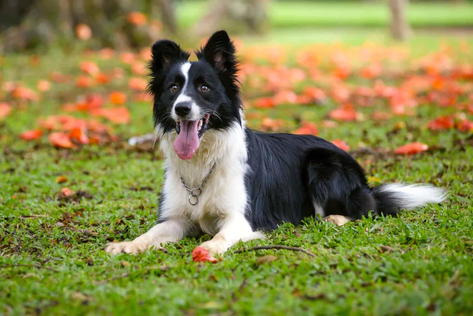 Border-Collie-Hund, der sich auf das Gras legt