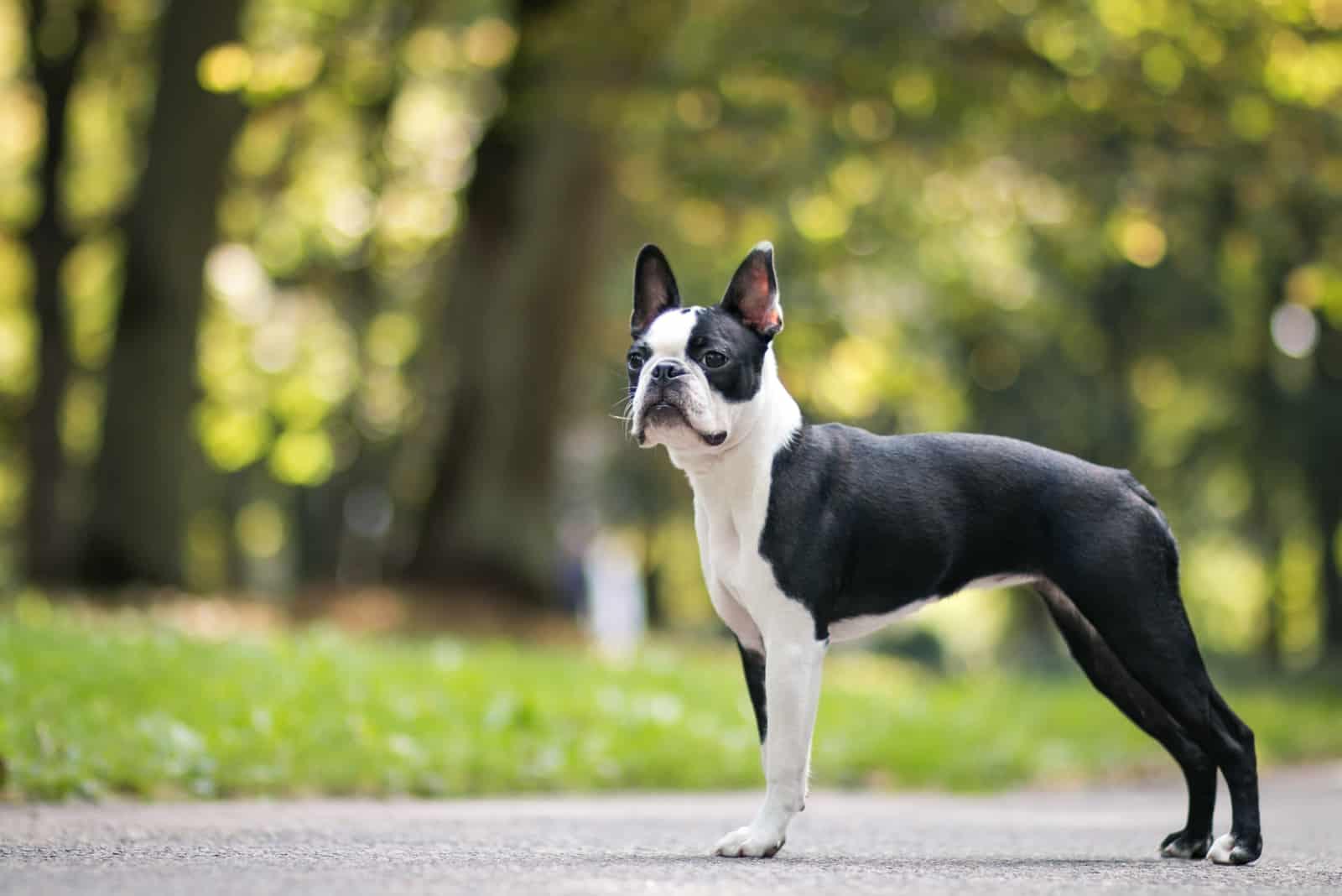 Boston Terrier im Park
