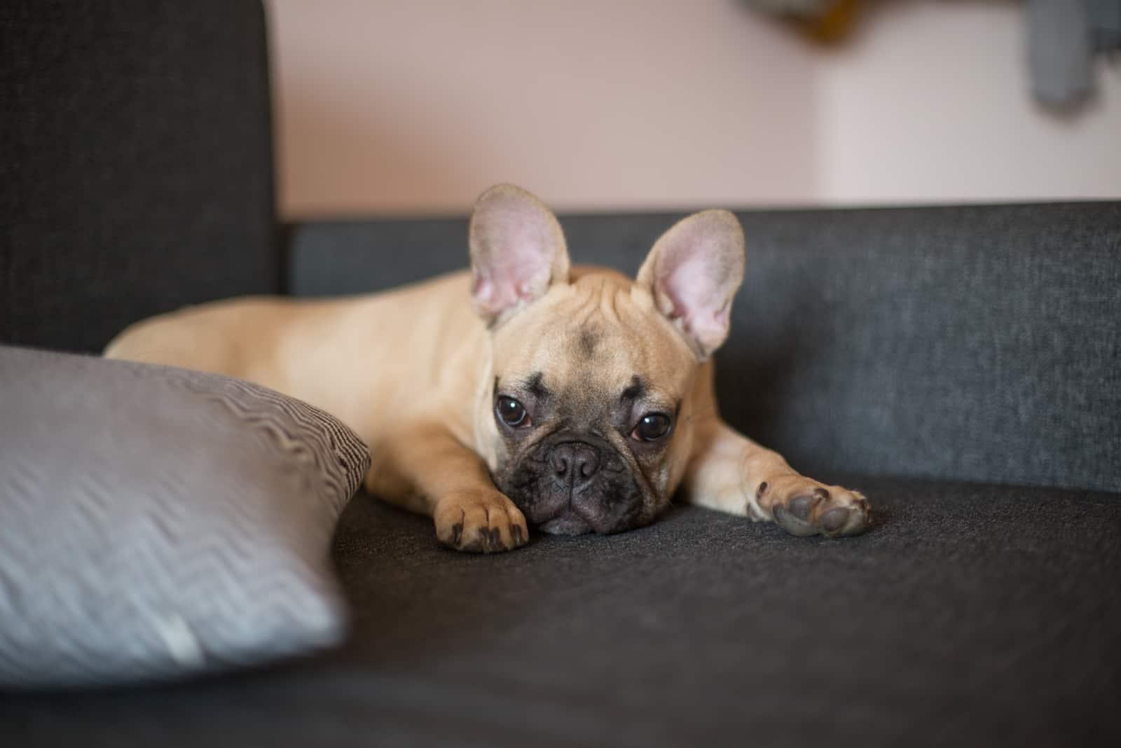 Bulldogge liegend und ruhend