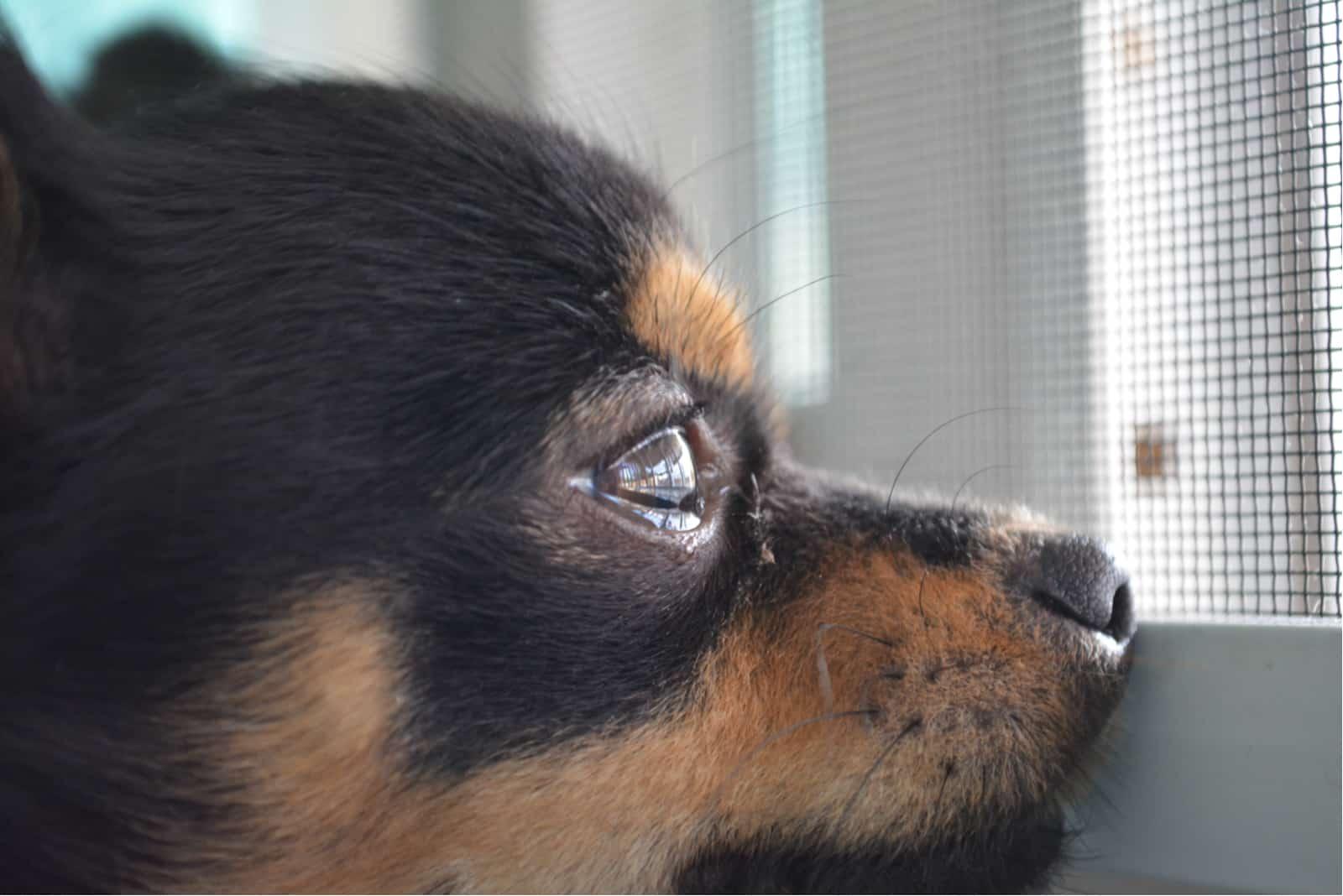 Chihuahua haben eine Träne