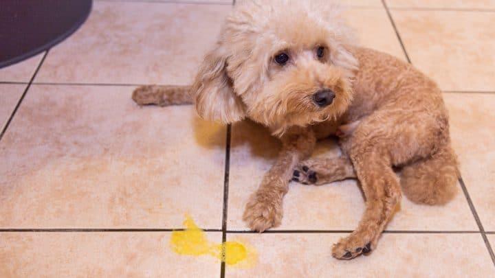Dein Hund Erbricht Gelb – Ein Grund Zur Besorgnis?
