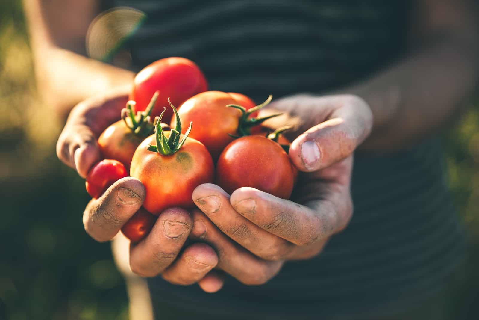 Der Bauer hält frisch gepflückte Tomaten in den Händen