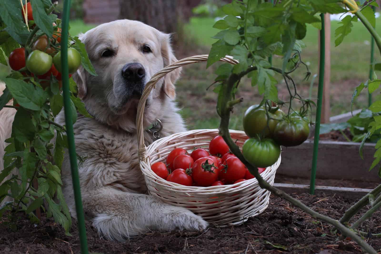 Der Hund liegt im Tomatengarten