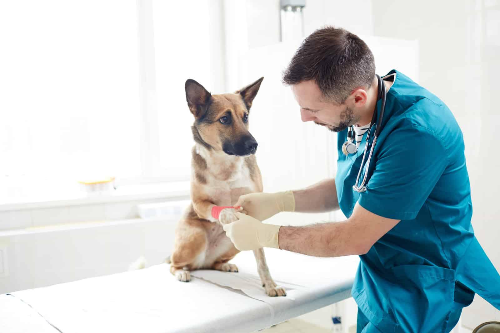 Der Tierarzt legt das Brownil auf die Pfote des kranken Hundes