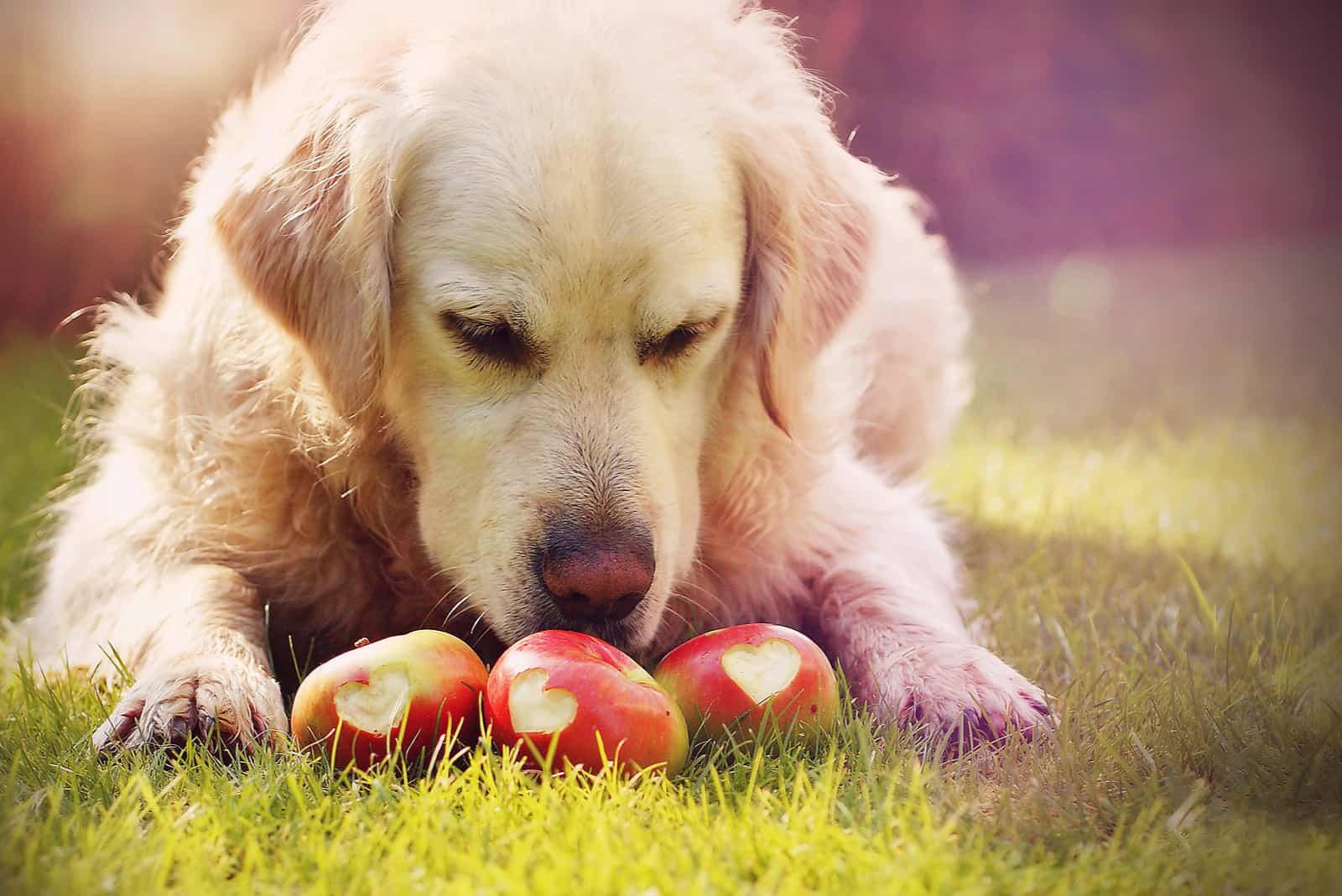 Ein Labrador Retriever liegt im Gras und isst Äpfel