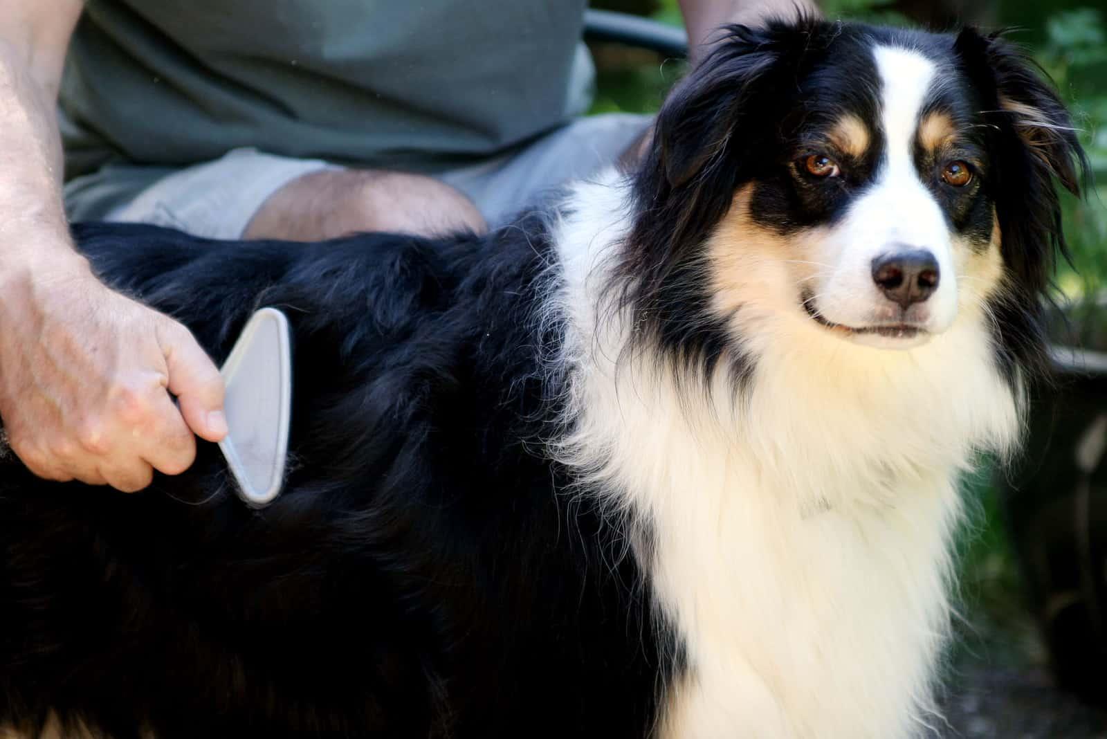 Ein Mann bürstet einen australischen Schäferhund