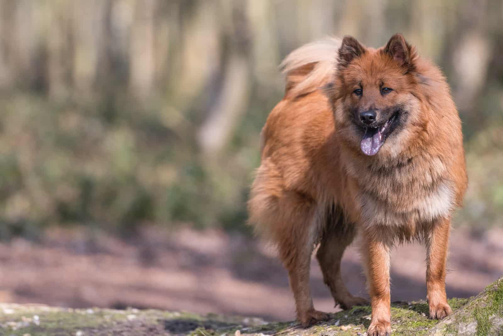Eurasier Hund draußen