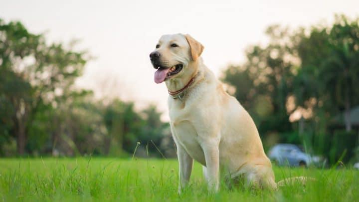 Labrador Retriever sitzt im Park