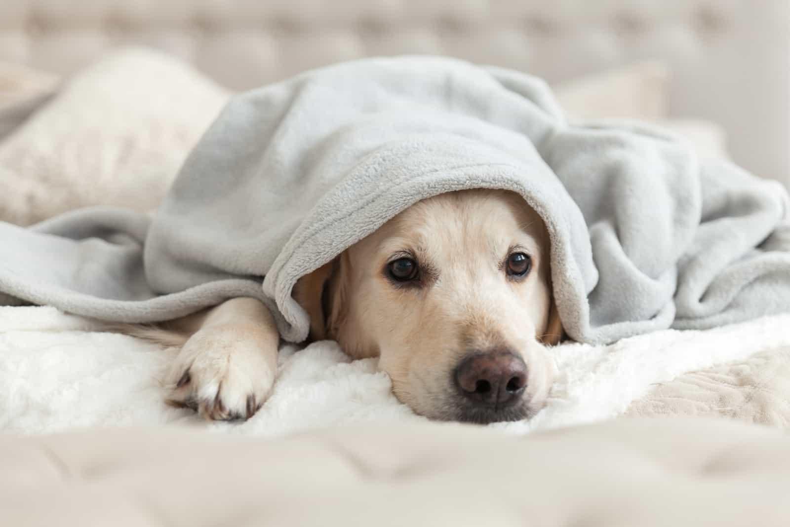 Gelangweilter junger Golden Retriever Hund unter hellgrauem Plaid