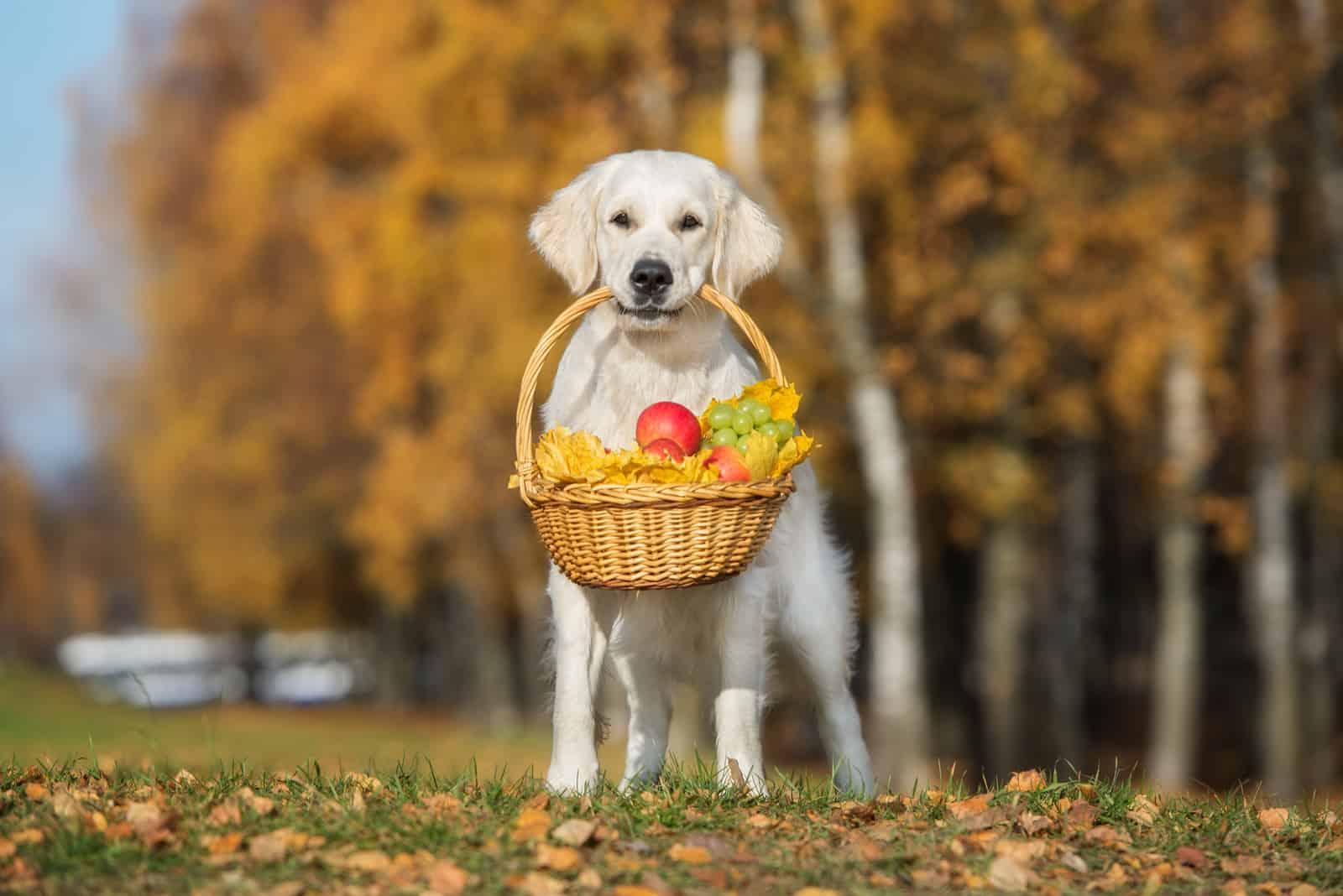 Golden Retriever Hund hält einen Korb im Freien im Herbst