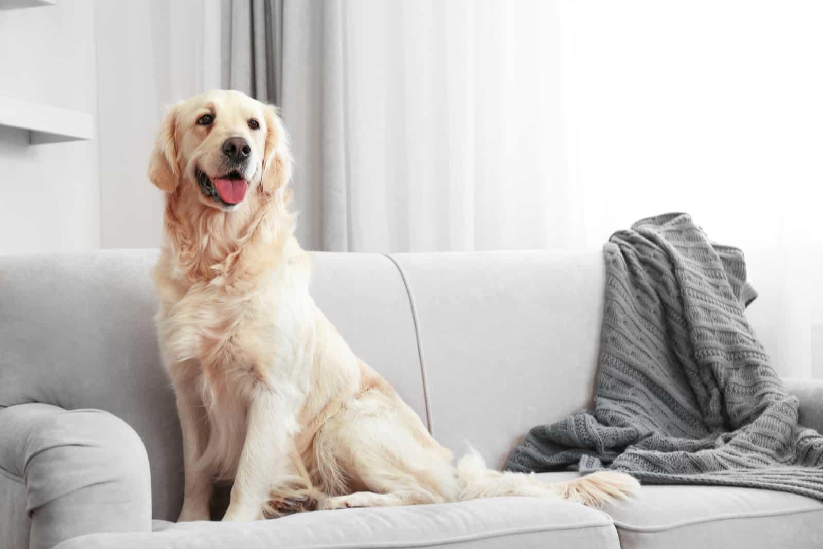 Golden Retriever sitzt auf einem Sofa