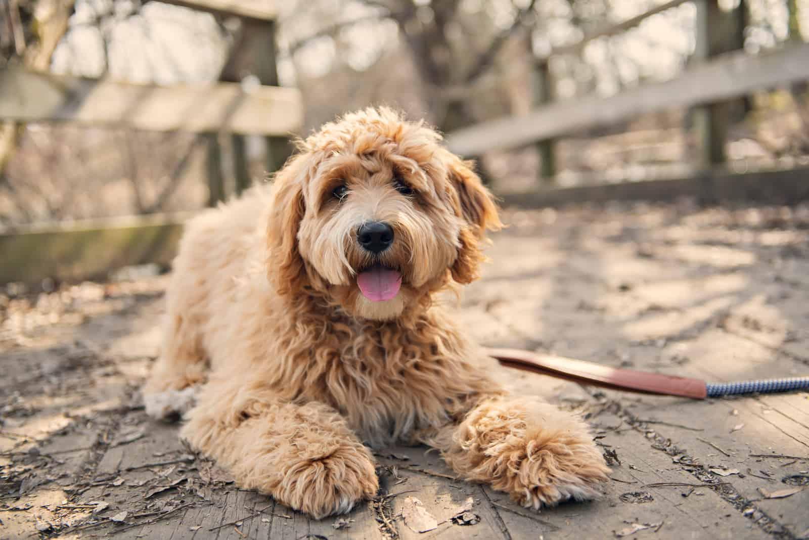 Goldener Labradoodle-Hund draußen
