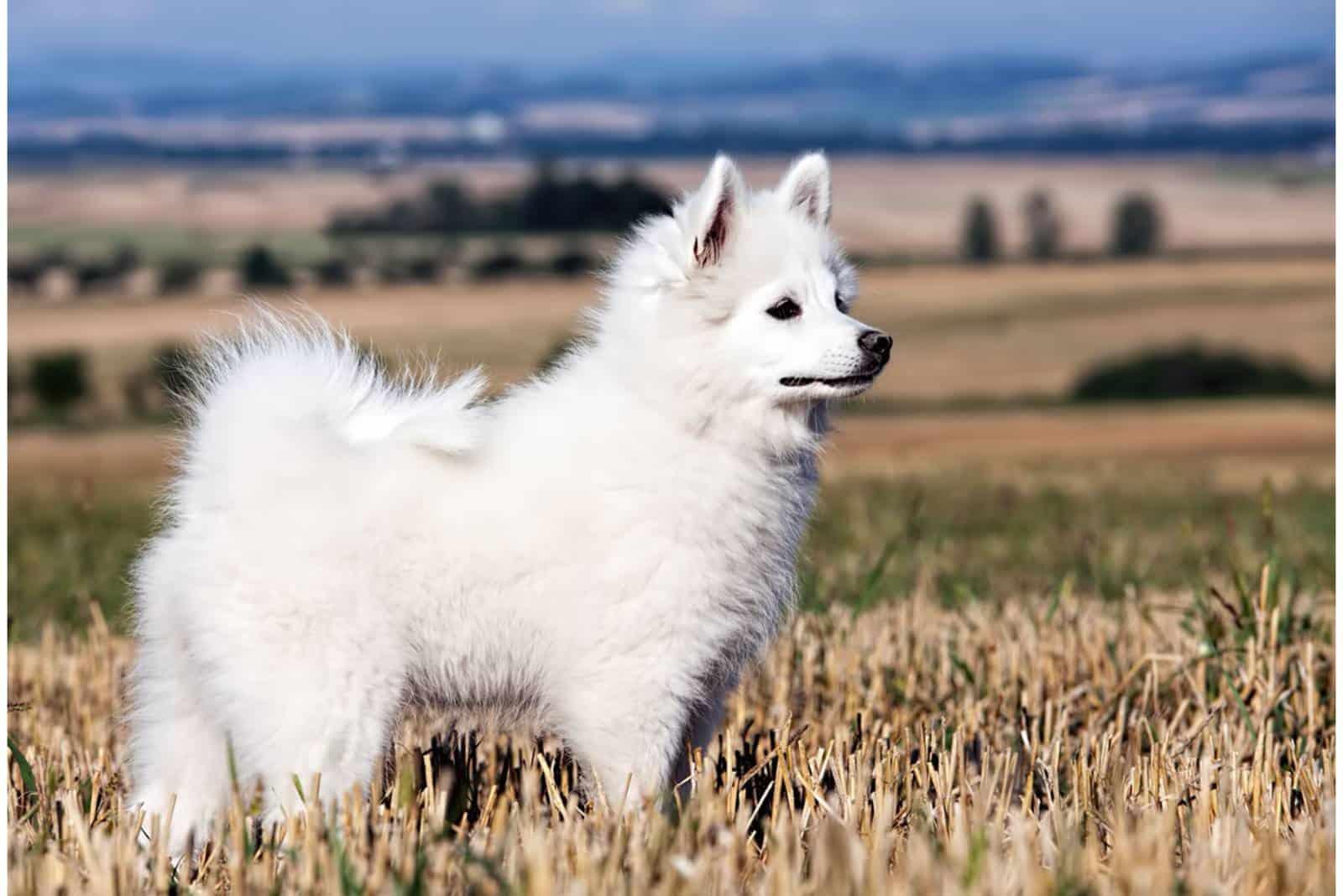 Gross Spitz pommerscher Hund