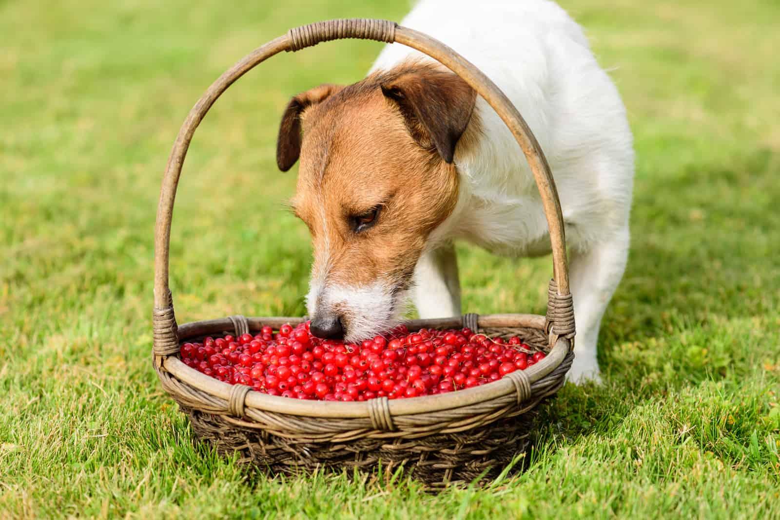 Hund, der frische Johannisbeeren vom Korb auf grünem Gras isst
