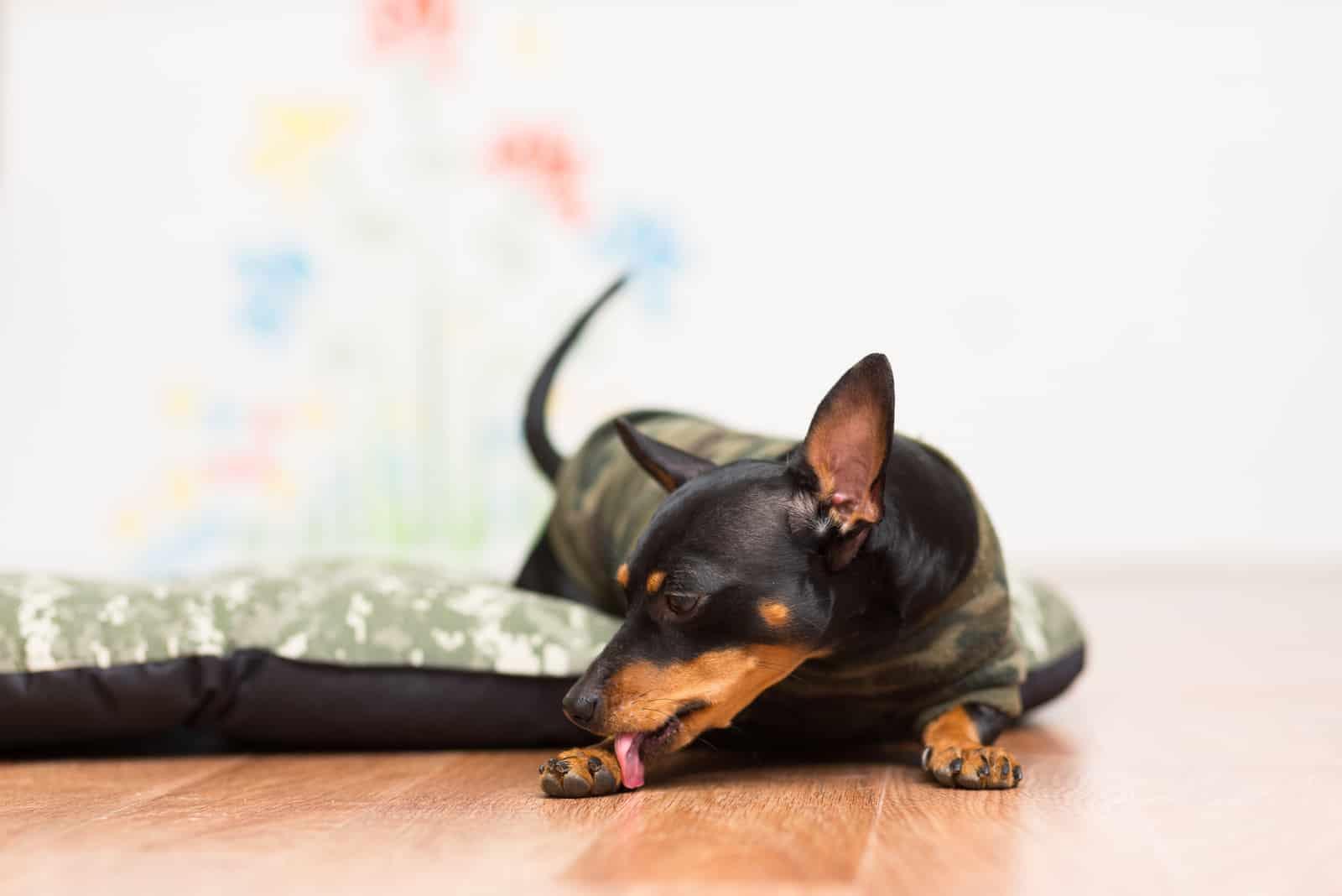 Hund leckt seine Pfote