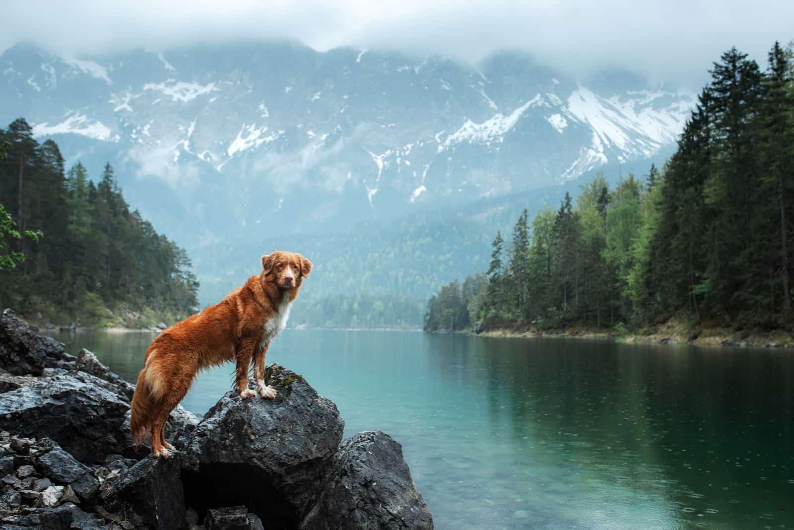 Hund steht auf einem Felsen am See