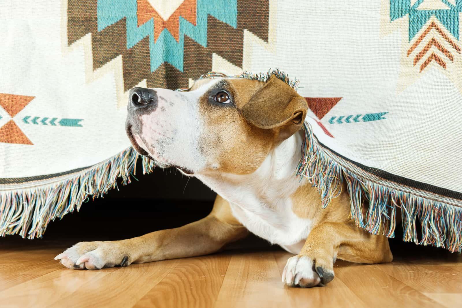 Hund versteckt sich unter dem Sofa und schaut erschrocken auf