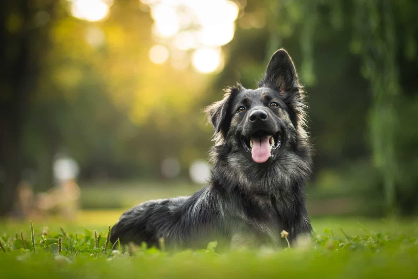 Hund während des Sonnenuntergangs auf Gras