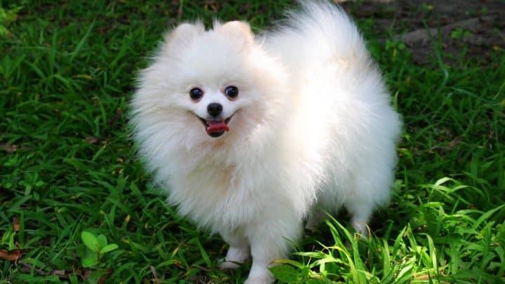 süßer pommerscher Hund