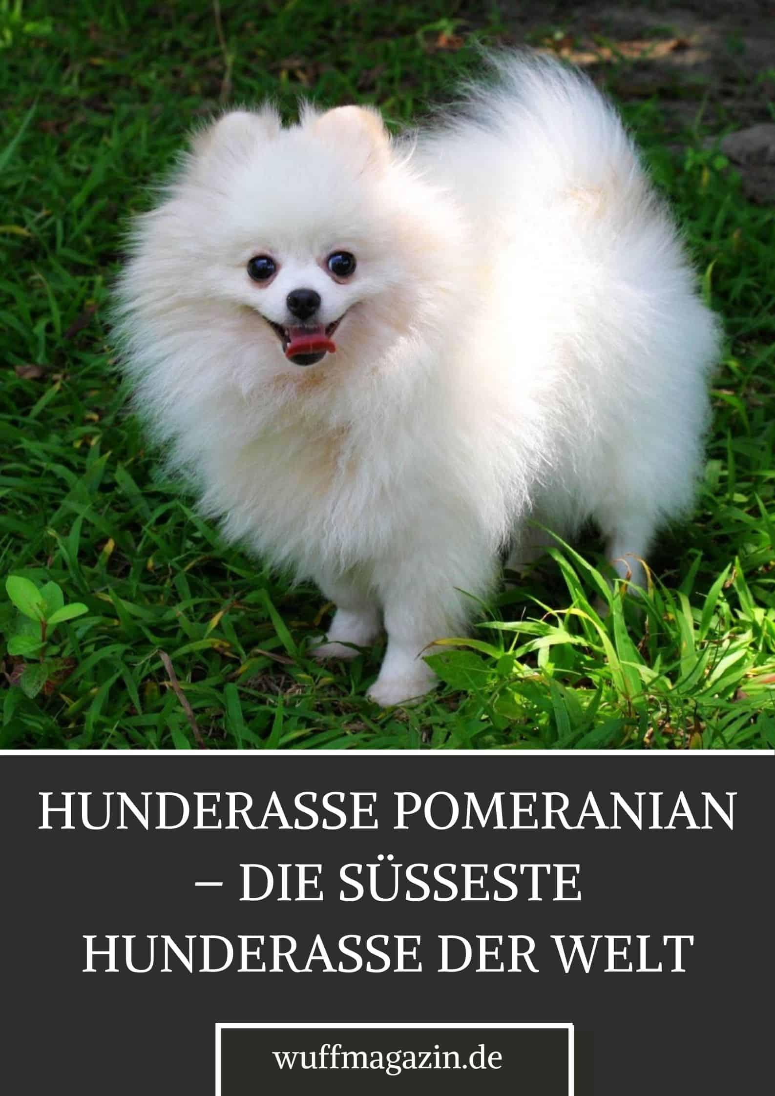 Hunderasse Pomeranian - Die Süsseste Hunderasse Der Welt