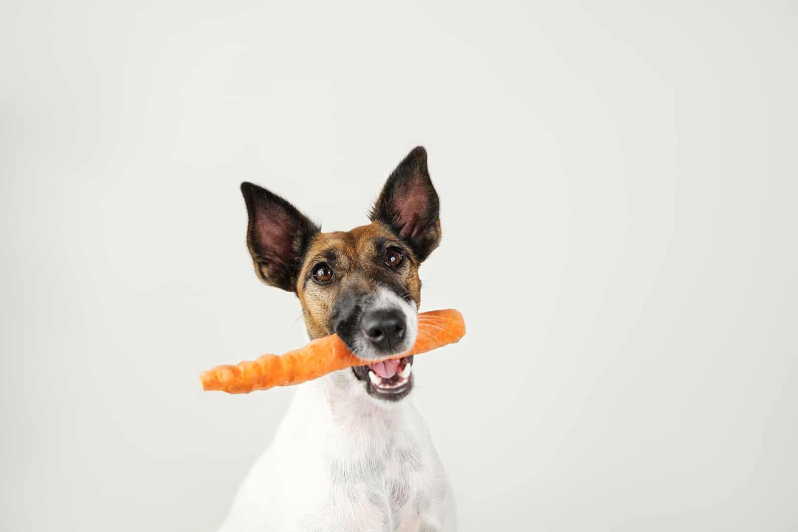 Junger Fuchsterrierhund mit einer Karotte im Mund.