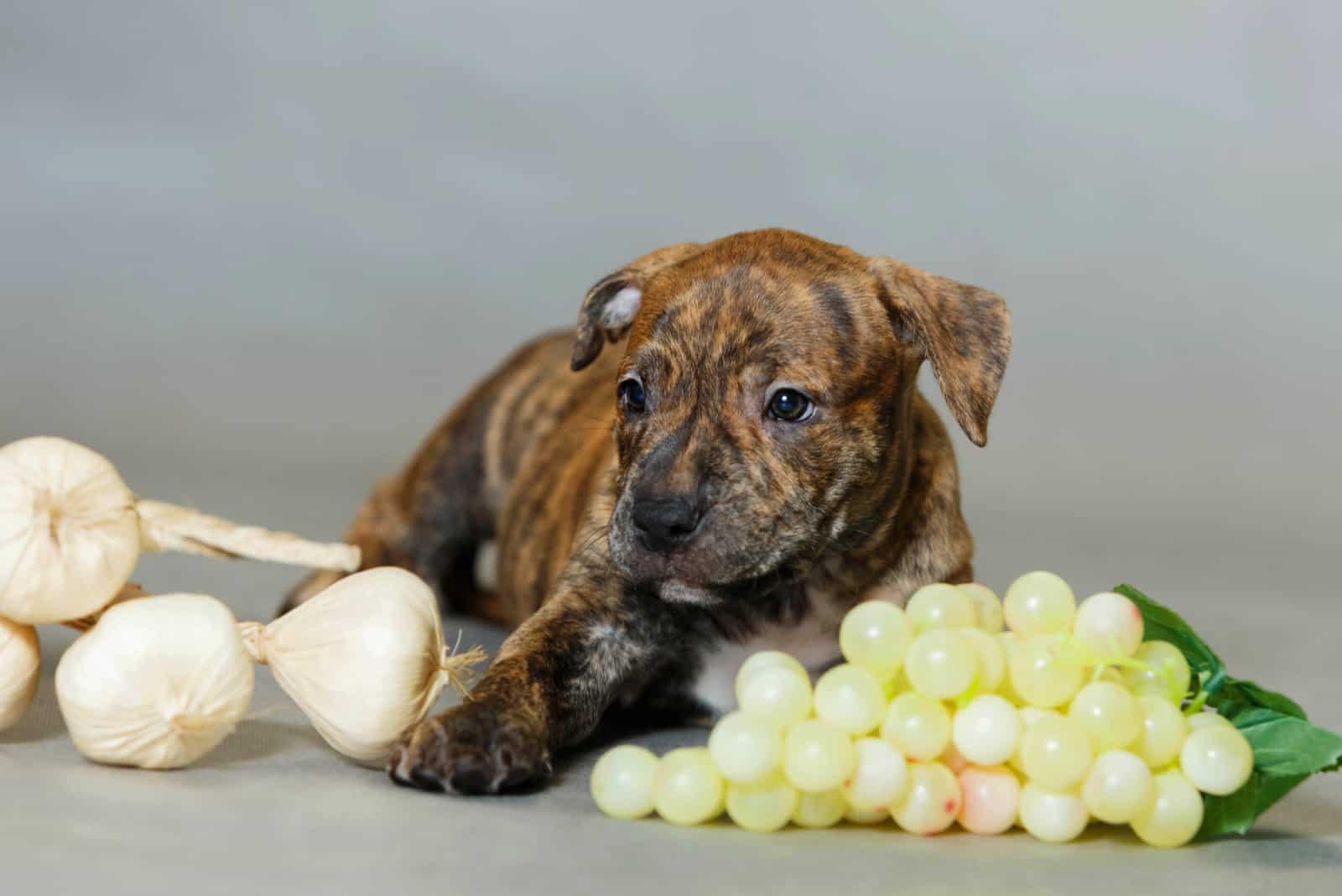 Kleiner Welpe amerikanischer Pitbull-Terrier im Studio