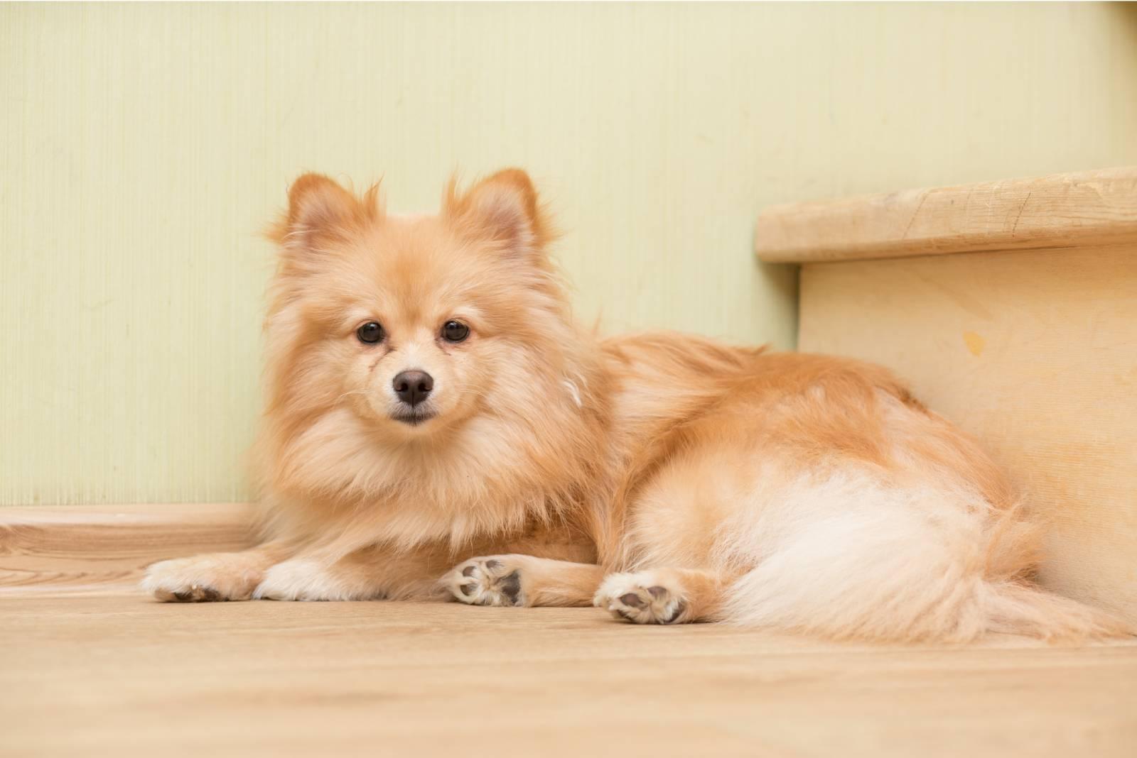Kleinspitz pommerscher Hund