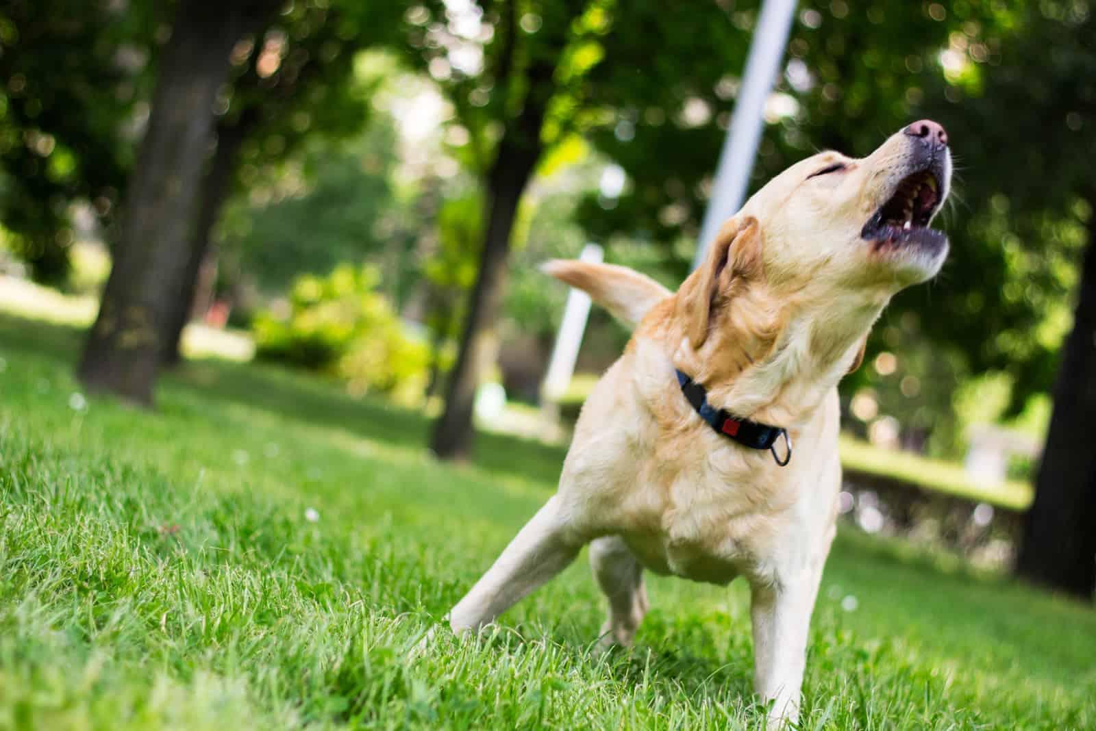 Labrador Hund bellt im Stadtpark