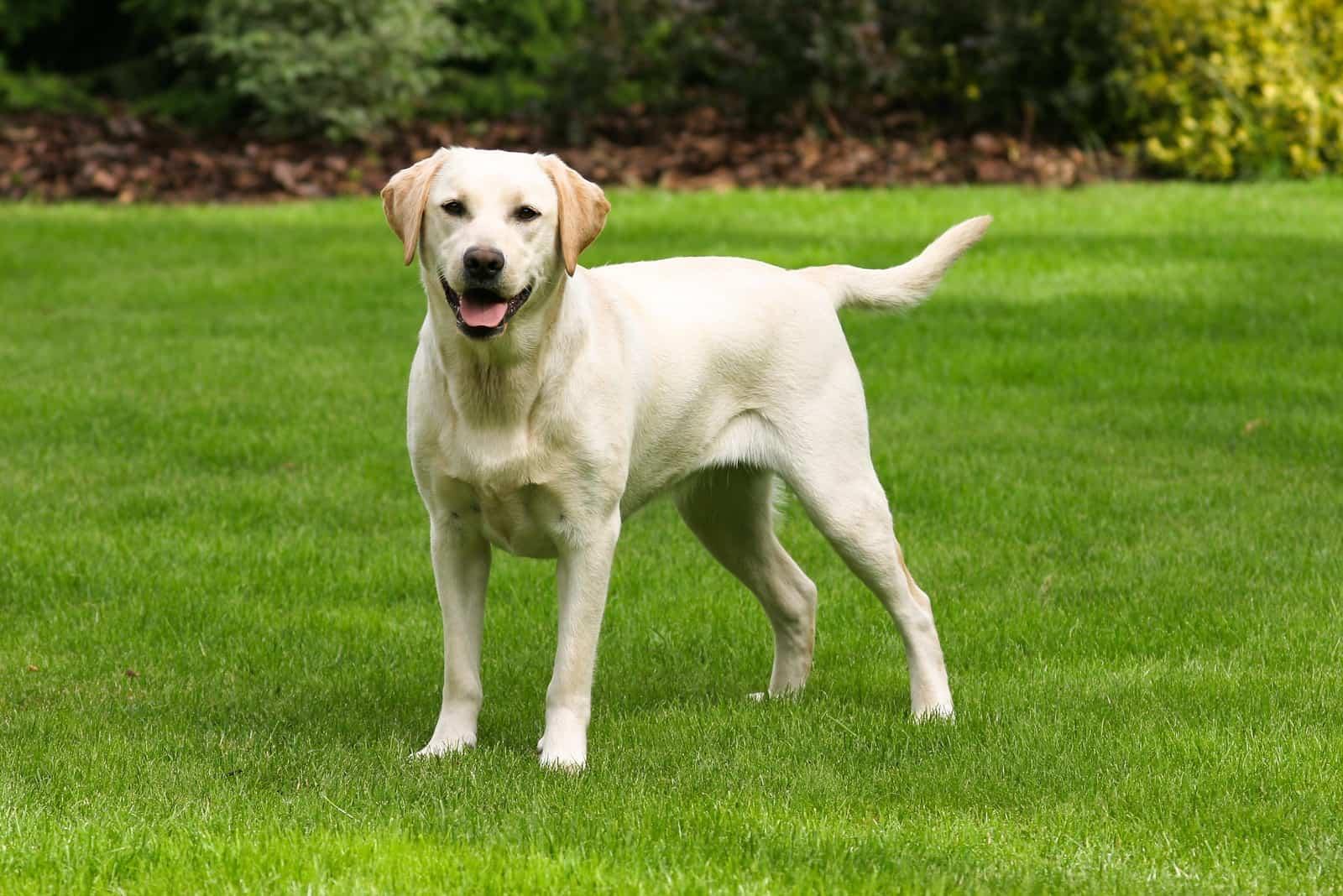 Labrador Retriever auf grünem Gras