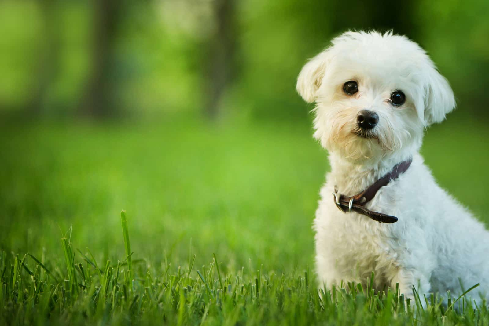 Malteser Hund sitzt im Gras