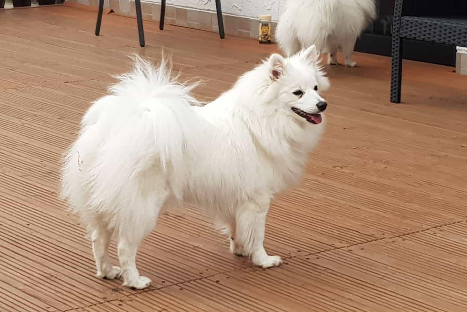 Mittelspitz pommerscher Hund