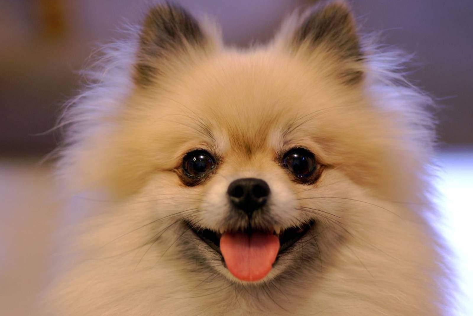Nahaufnahme pommerschen Hund lächelnd