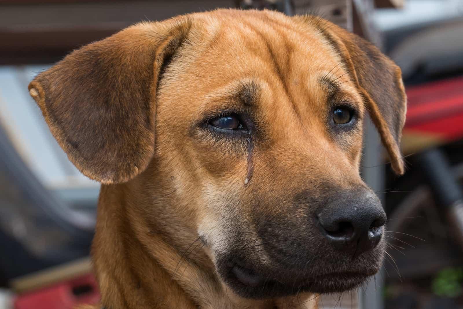 Nahaufnahme weinendes Hundegesicht