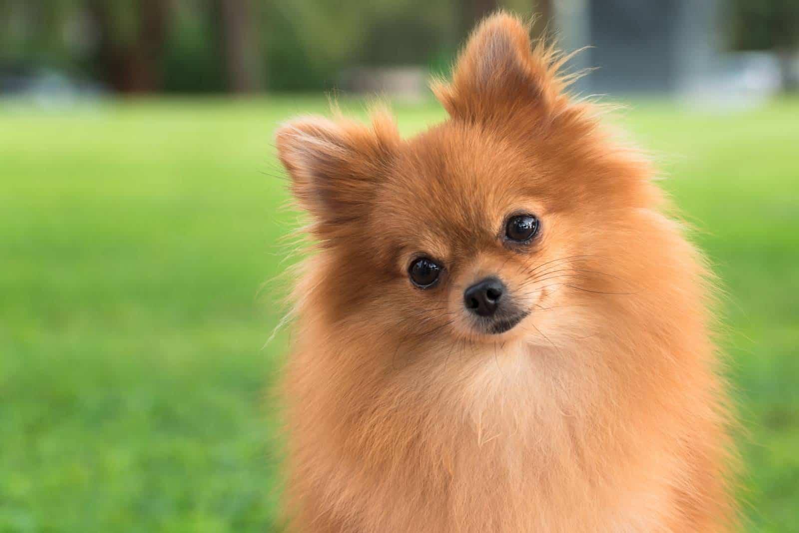 Porträt des niedlichen pommerschen Hundes außerhalb