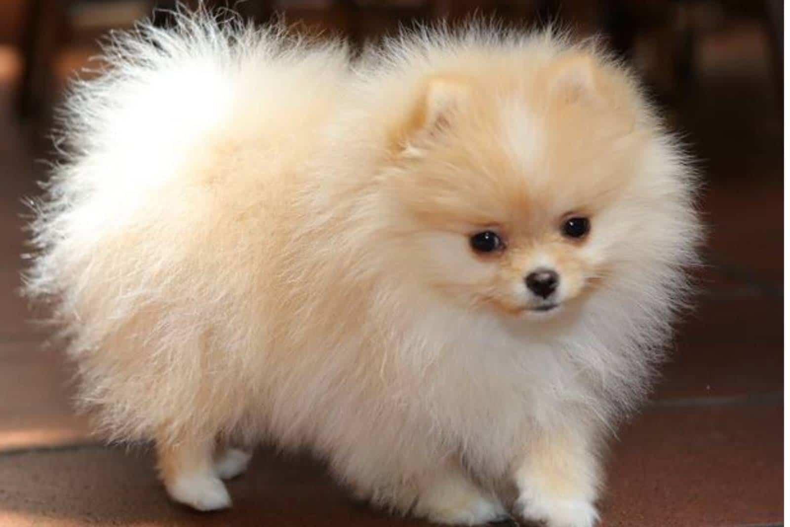 Porträt des niedlichen pommerschen Hundes