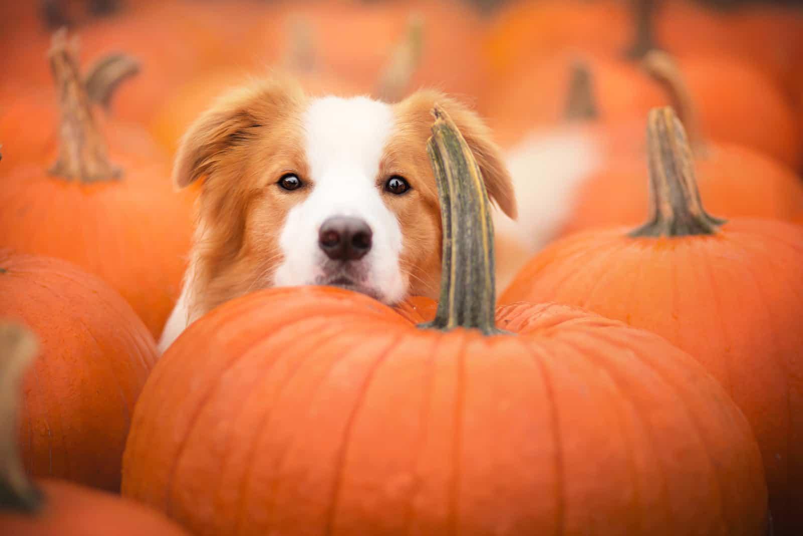 Schöner Hund und Kürbisse im Herbst
