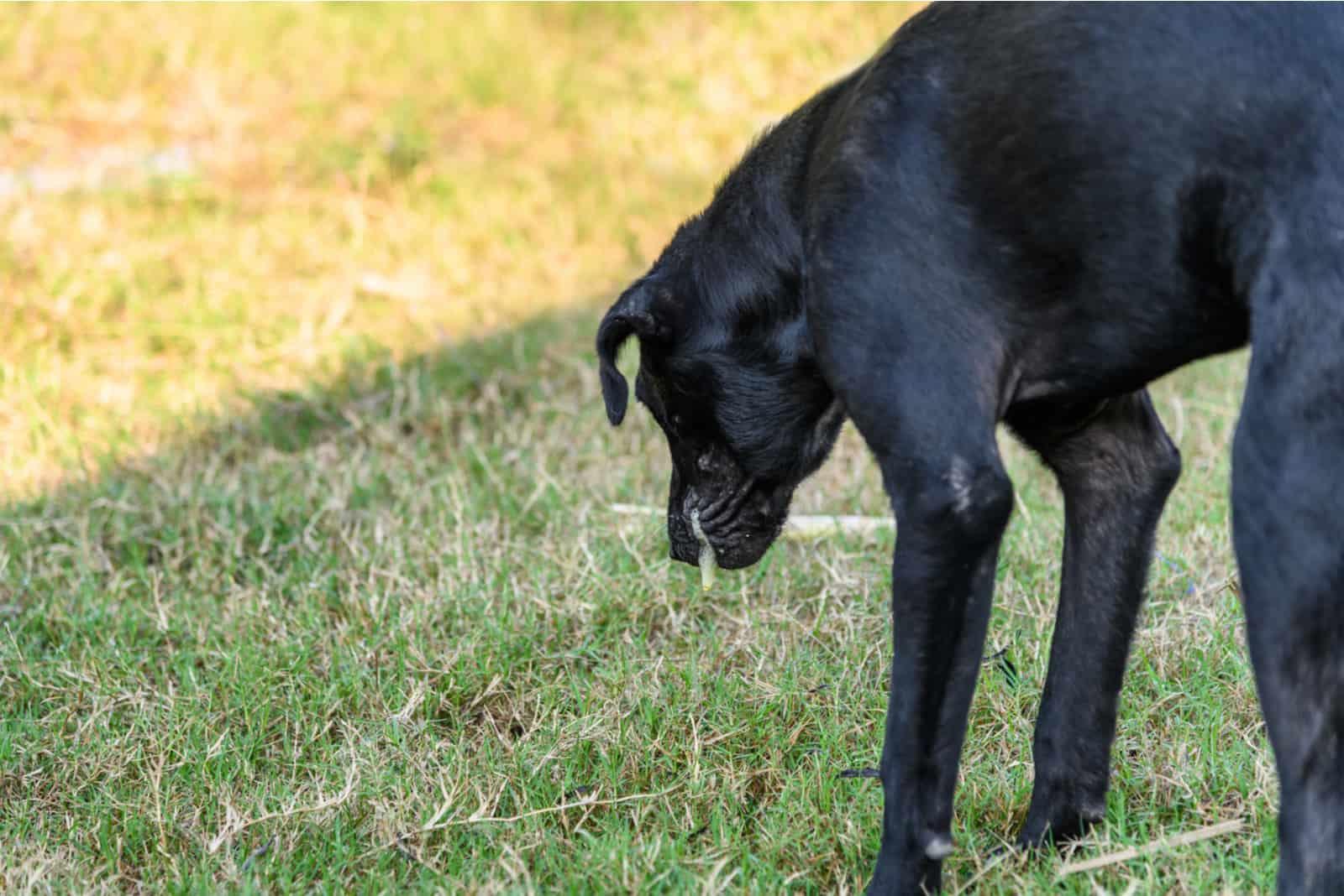 Schwarze Haushunde sind gebeugte Körper und erbrechen Schleim